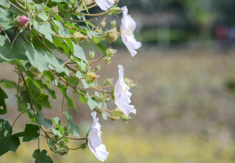 Confederate Rose Flower hibiscus mutabilis stock photography