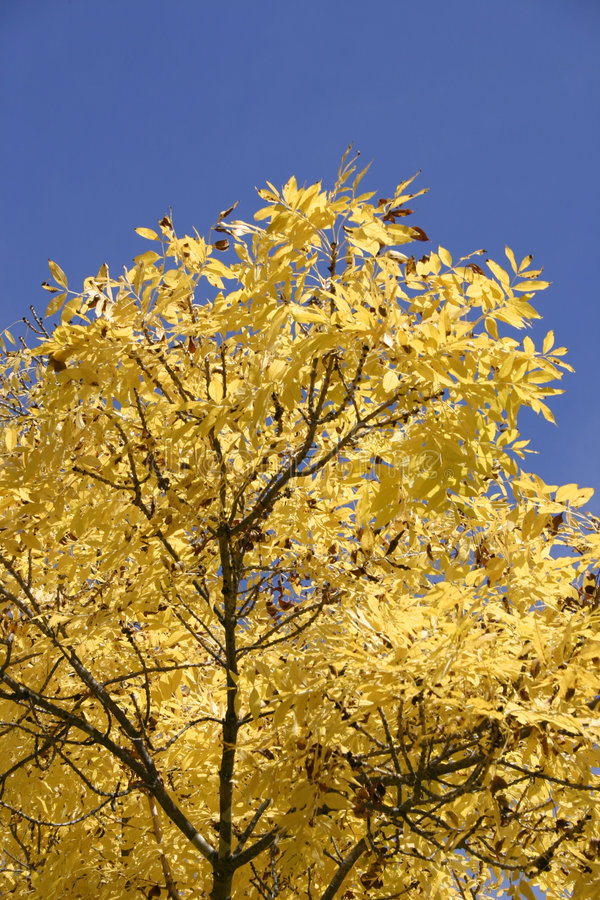 Autumn Foilage. Golden autumn treetop foilage against blue sky royalty free stock image
