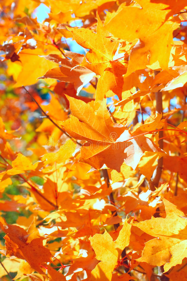 Download Autumn foliage stock image. Image of forest, natural - 11023171