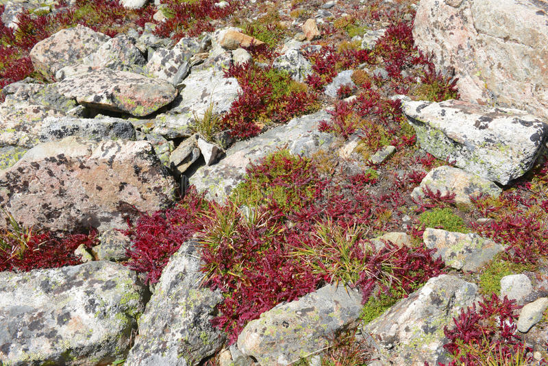 Autumn foliage - Alpine tundra in fall colors, Rocky Mountains, USA royalty free stock images
