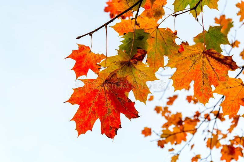 Autumn foliage: Branch with red, yellow and green maple leaves on white background royalty free stock photography