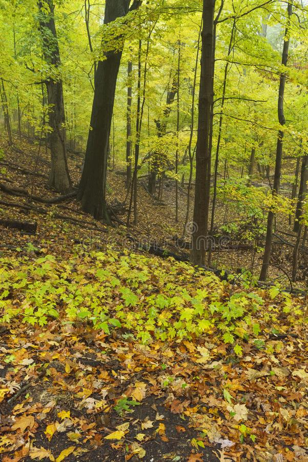 Autumn foliage in forest,Indiana Dunes National Park. royalty free stock photos