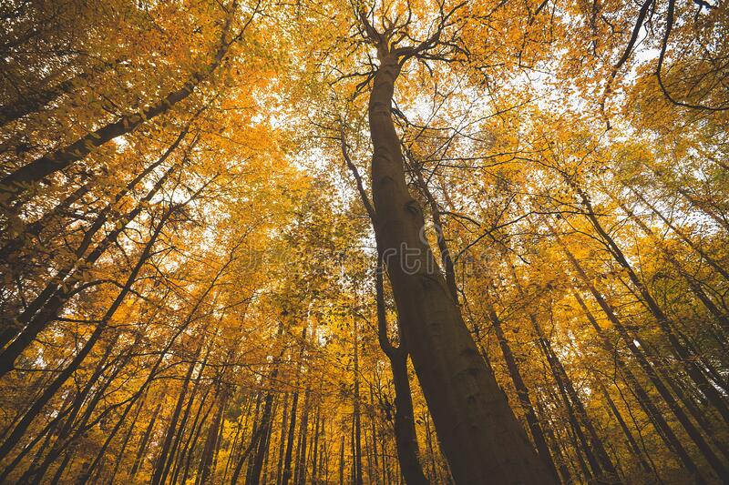 Autumn foliage in forest royalty free stock image