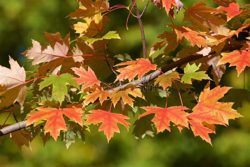 Autumn foliage. Red leaves in autumn - autumn foliage royalty free stock photo