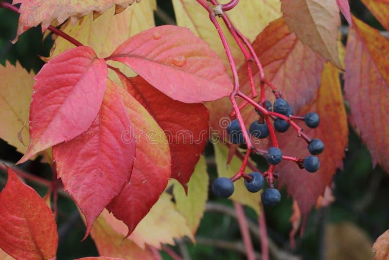 Autumn foliage red royalty free stock photo