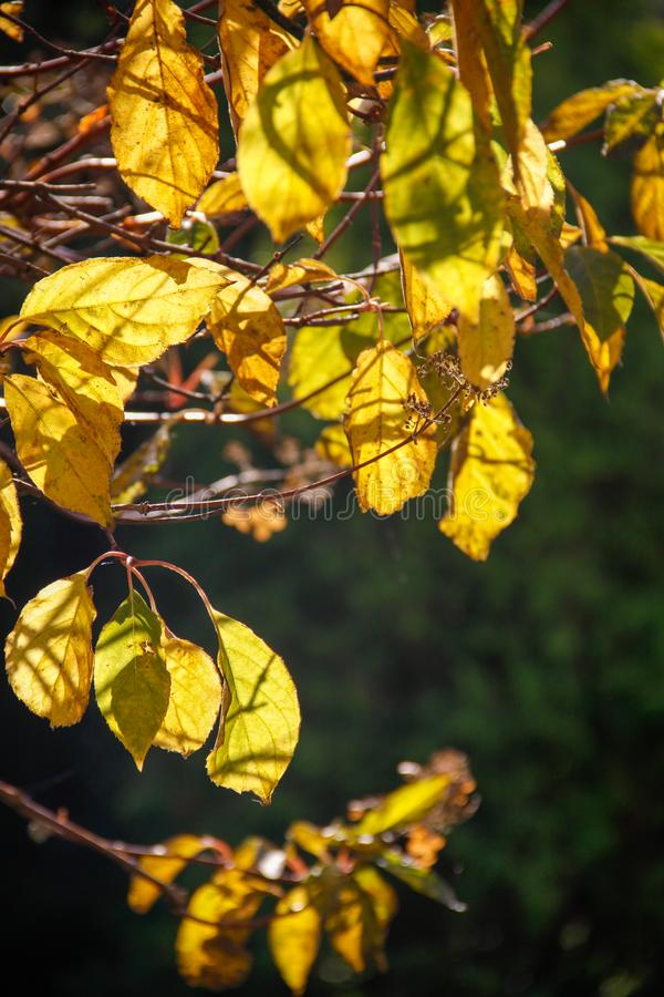 Autumn foliage on a sunny day. Colorful leaves close up stock images
