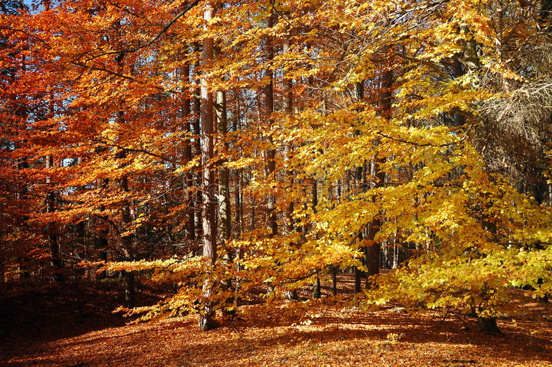 Download Autumn forest stock photo. Image of outdoor, change, nature - 19911858