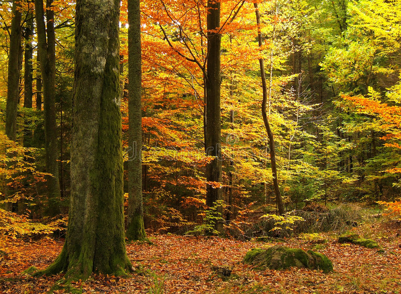Download Autumn forest stock image. Image of outdoor, tranquil, silence - 451255