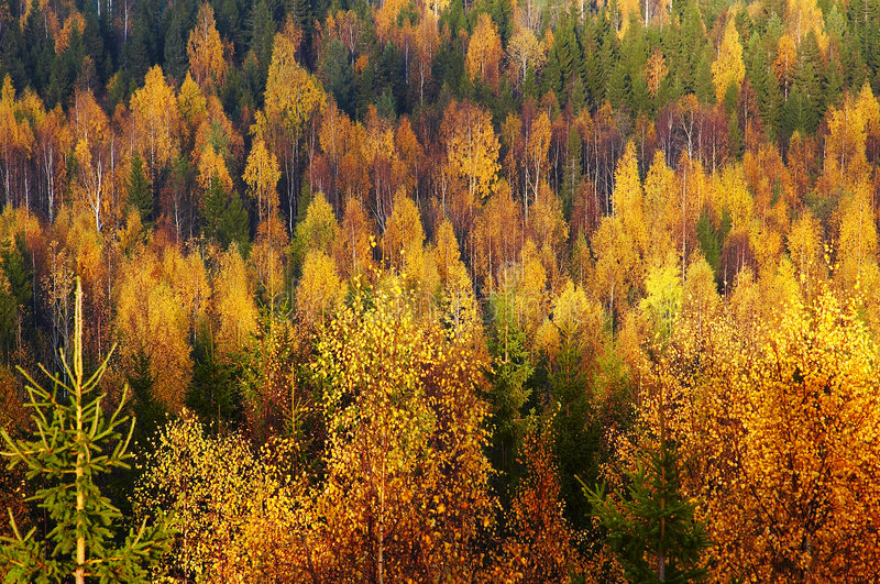 Download Autumn forest stock photo. Image of autumn, tree, colour - 783442