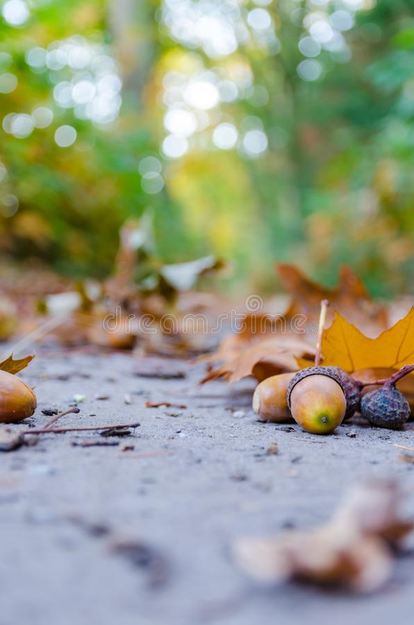 Autumn forest background with yellow leaves and oak acorns closeup royalty free stock image