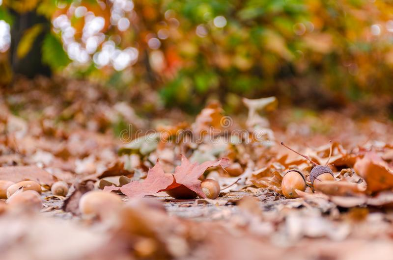 Autumn forest background with yellow leaves and oak acorns closeup. royalty free stock photos