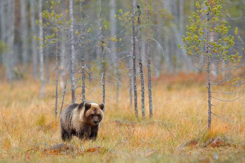 Autumn forest with bear alone cub. Beautiful lost baby brown bear walking around lake with autumn colours. Dangerous animal in nat stock photo