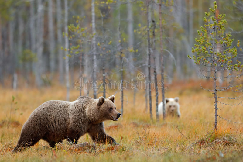 Autumn forest with bear cub with mother. Beautiful baby brown bear hiden in the forest. Dangerous animal in nature forest and mead. Ow, Finland royalty free stock photography