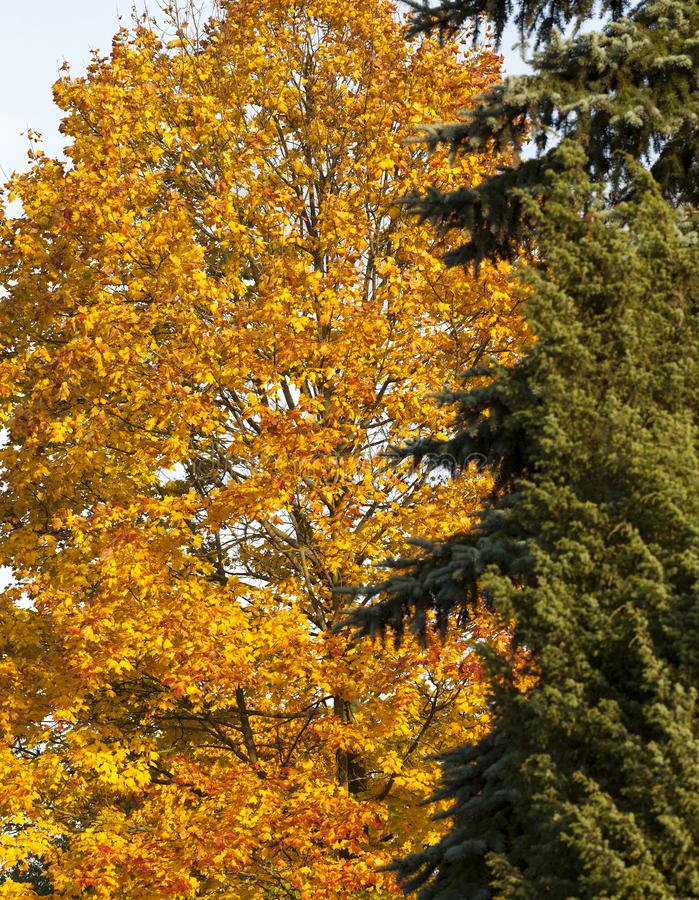 Autumn forest. Beautiful yellow foliage of maple and green needles fir in autumn park, closeup, focus on deciduous tree on the left stock photo