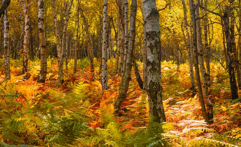 Autumn in the forest - birch grove with ferns royalty free stock photo