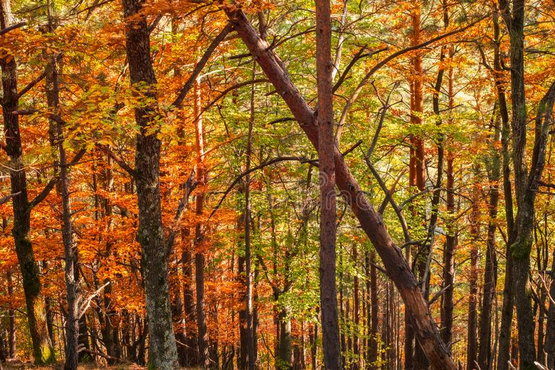 Forest of conifers and deciduous trees. Autumn forest of conifers and deciduous trees stock images