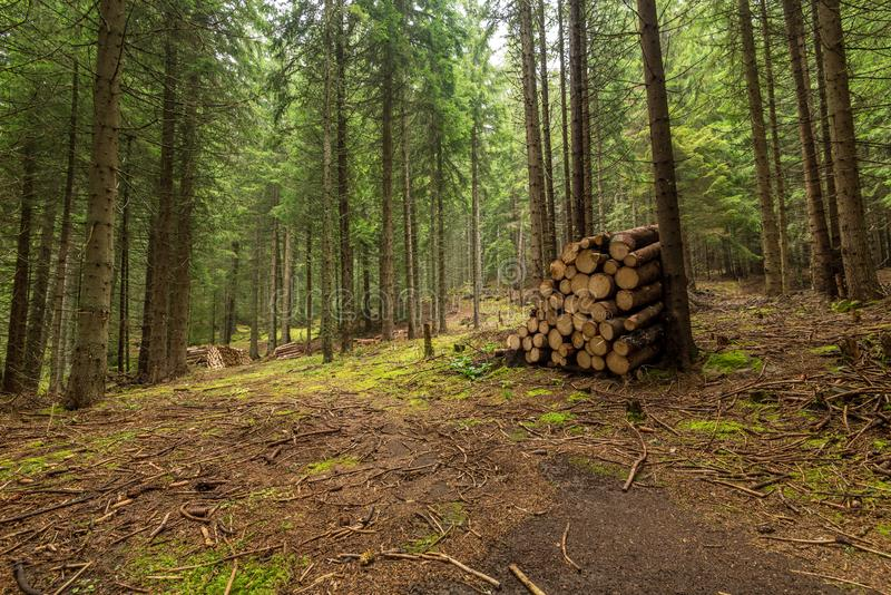 Autumn forest and cut wood arranged along. royalty free stock image