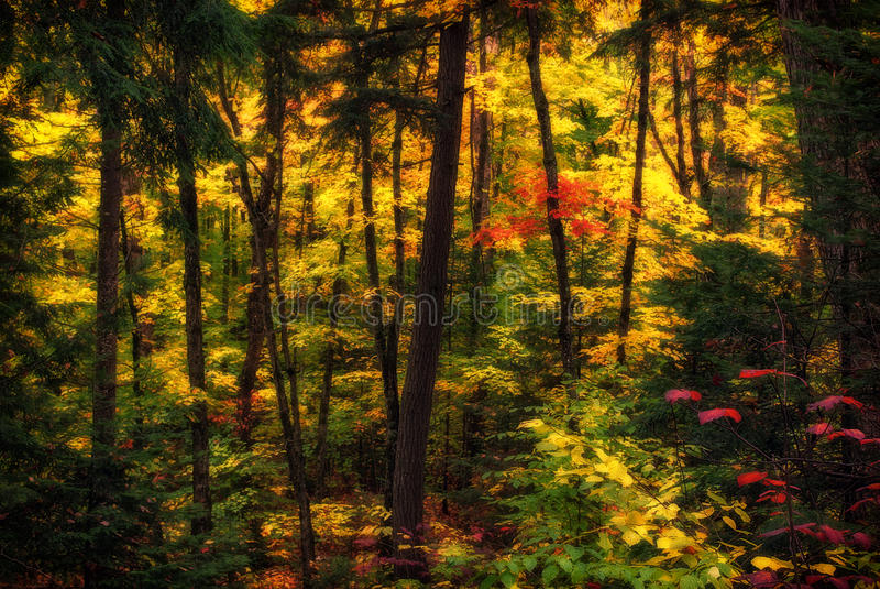 Autumn Forest difundido fotos de stock royalty free