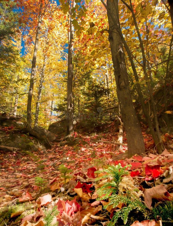 Autumn Forest Floor e dossel fotografia de stock royalty free