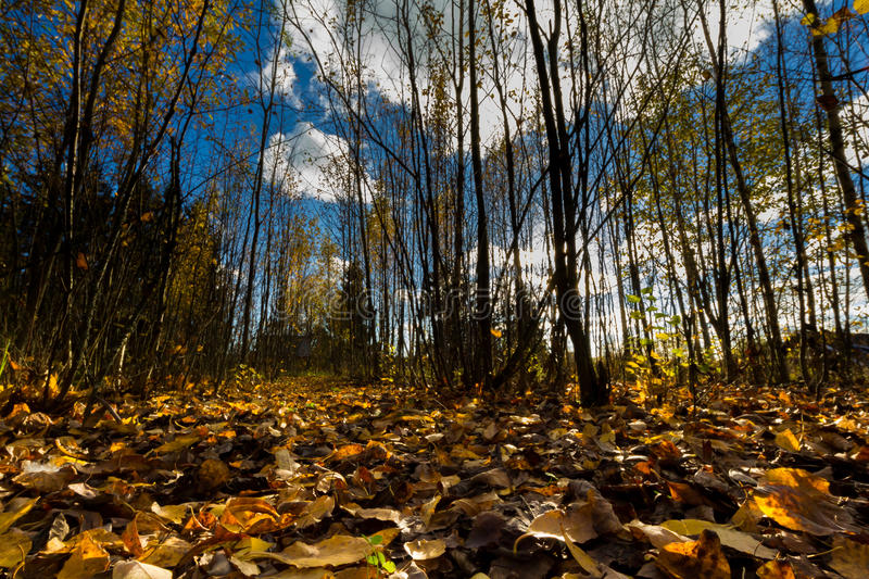 Autumn forest. A frog perspective photo of a beautiful day in an Finnish autumn forest and sky stock photos