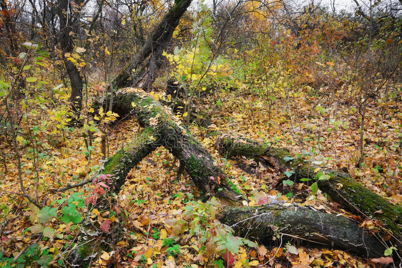 Autumn forest. Graphically old tree in autumn leaves on a cloudy day royalty free stock image