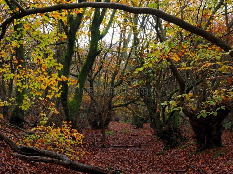 Autumn Forest in het UK Engeland met griezelige bomen stock foto