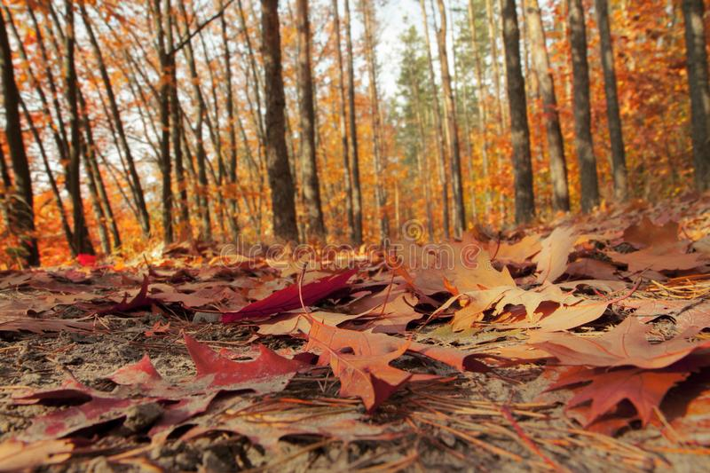 Autumn forest illuminated by the sun. Forest trail covered with fallen leaves. Calm sunny day. Close-up royalty free stock photos