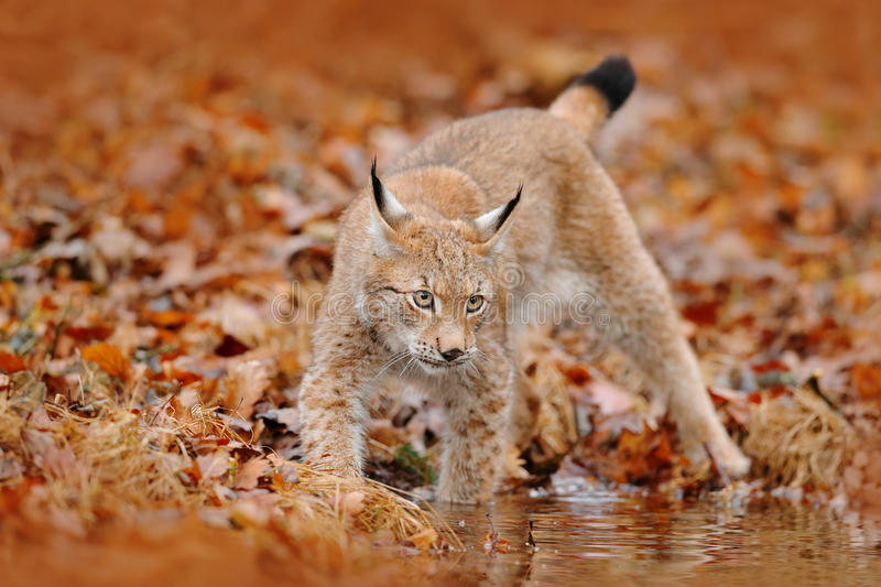 Autumn forest with lynx. Lynx walking in the orange leaves. . Wild animal hidden in nature habitat, Germany. Lynx between two tree stock image