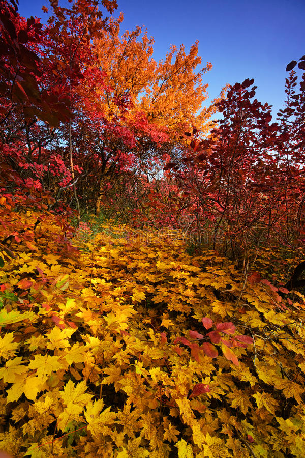 Autumn forest. Majestic autumn forest of the Dnepropetrovsk. Ukraine stock photos