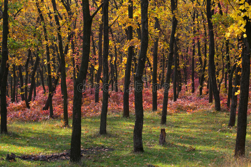 Autumn forest. Majestic autumn forest of the Dnepropetrovsk. Ukraine royalty free stock image