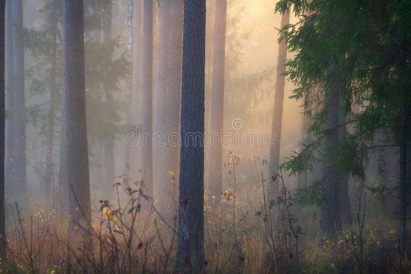 Autumn forest in mist. Beautiful woodland in morning sunlight. Amazing fall scene with trees in fog illuminated by morning sun royalty free stock image
