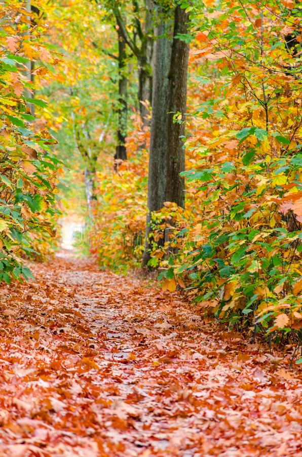 Autumn forest nature background. Autumn, fall forest. Path of red leaves towards light stock photo