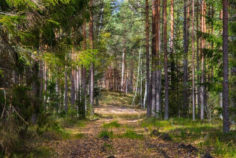 Autumn Forest Nature La mañana viva en bosque colorido con el sol irradia a través de ramas de árboles imágenes de archivo libres de regalías