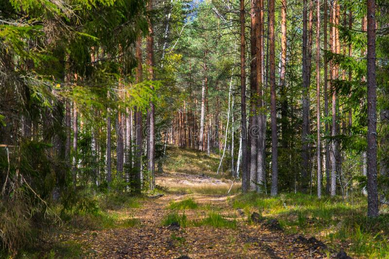 Autumn Forest Nature Le matin vif dans la forêt colorée avec le soleil rayonne par des branches des arbres images libres de droits