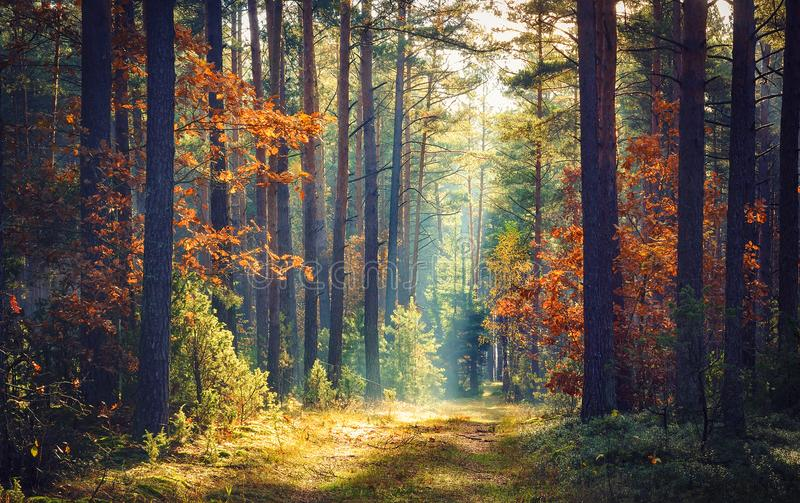 Autumn forest nature. Vivid morning in colorful forest with sun rays through branches of trees. Scenery of nature with sunlight. Autumn forest nature. Vivid stock photography