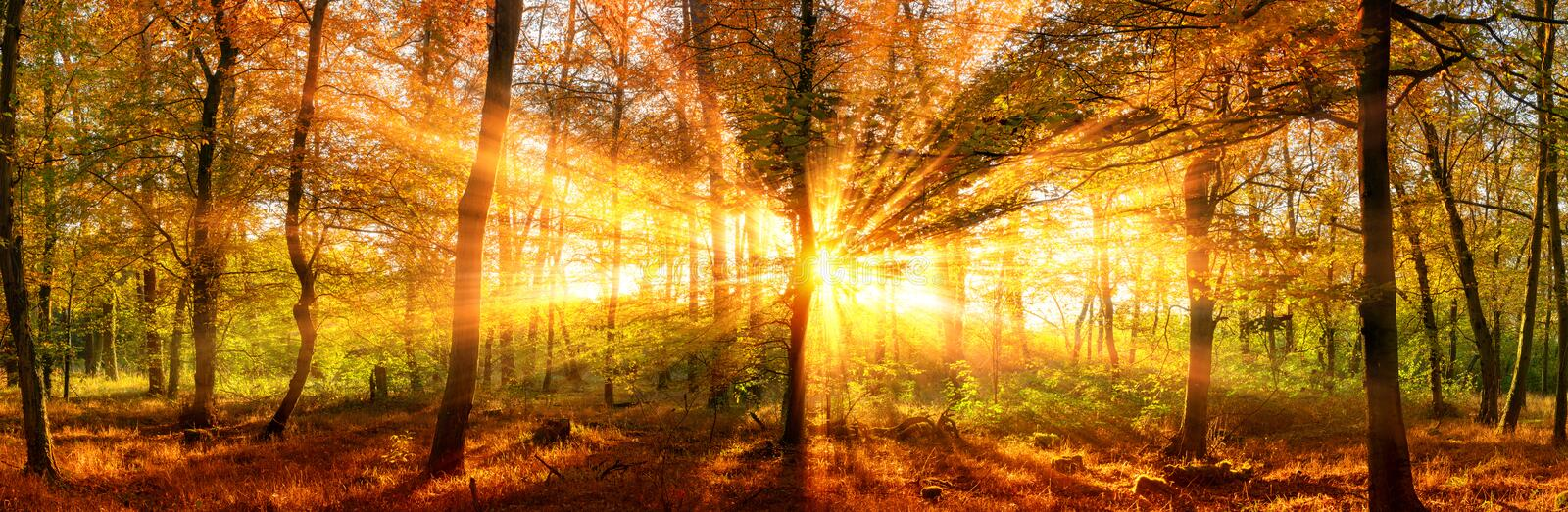 Autumn forest panorama with vivid gold sunbeams. Autumn forest panoramic landscape shot with vivid gold sunrays falling through the trees stock images