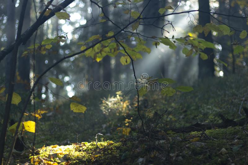 Autumn Forest Park mágico Cena bonita Misty Old Forest com raios, sombras e névoa de Sun fotos de stock royalty free