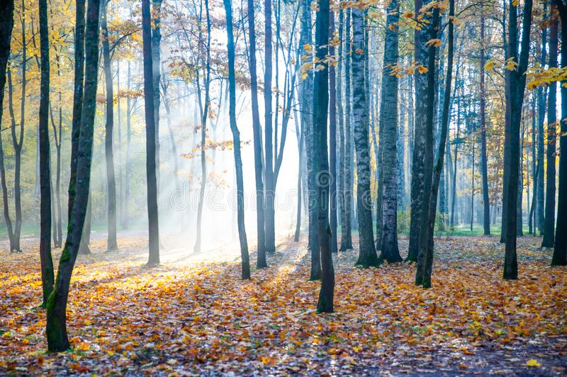 autumn in the forest, park. The rays of the sun make their way through the trees. Autumn beauty theme, atmospheric photo royalty free stock photos