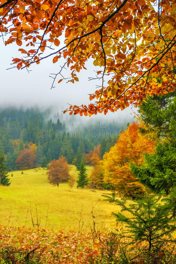 Autumn in the forest, park. A view of a glade with fir trees in the fog through the branches of yellow trees. A beautiful view of the autumn forest and trees royalty free stock image