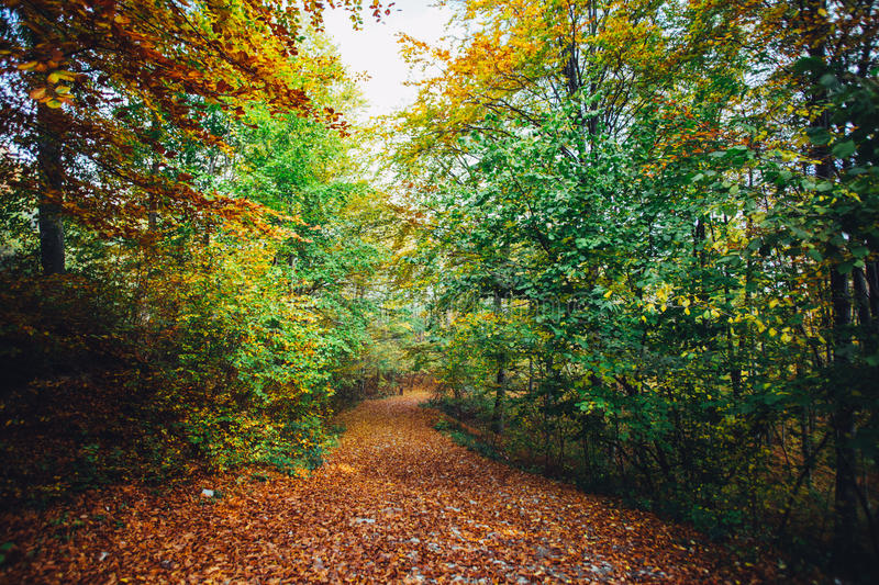 Autumn forest path. Covered in rusty leaves stock photo