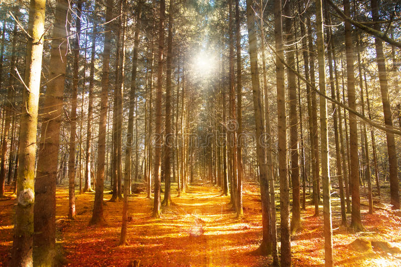Autumn forest path. Autumn golden forest path with sun and sunrays stock photography