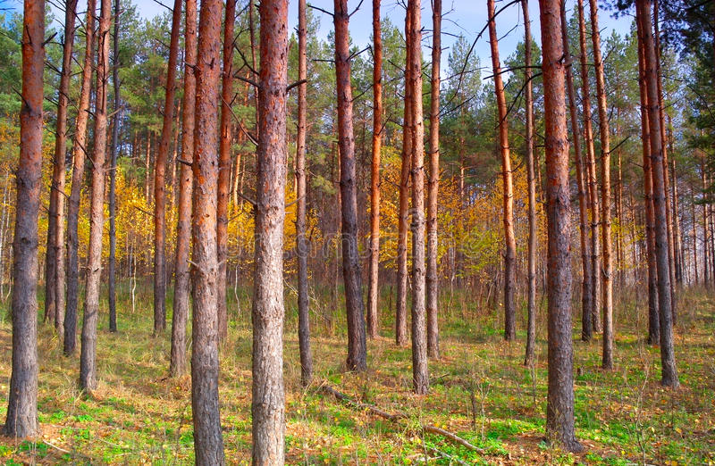 Download In Autumn Forest With Pines Royalty Free Stock Photos - Image: 28697528