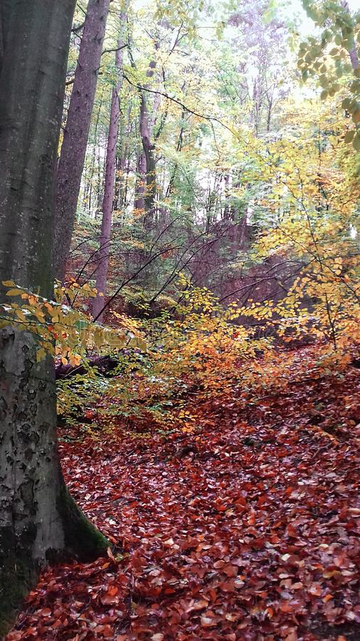 Autumn forest in Poland. The leaves have covered the ground completely royalty free stock image