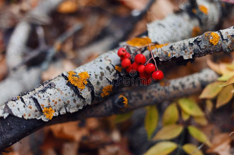 Autumn forest. Ripe Rowan berries on the background of a birch branch royalty free stock photos
