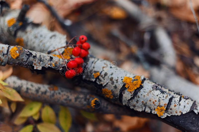 Autumn forest. Ripe Rowan berries on the background of a birch branch. Beautiful autumn background. Top view royalty free stock images