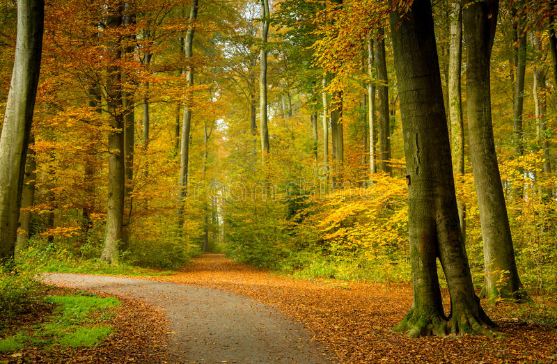 Autumn forest scenery with rays of warm light illumining the gold foliage and a footpath leading into the scene.  stock images