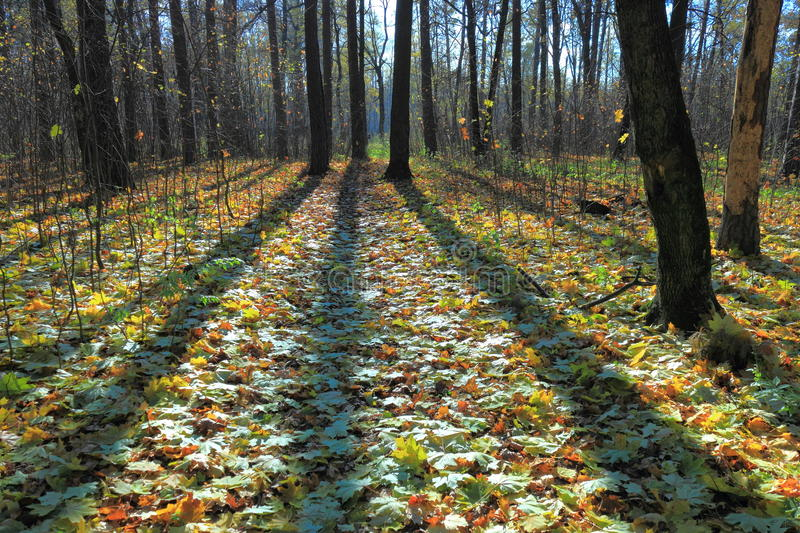In autumn forest. Sunlight breaks through the dense crown of trees stock photo