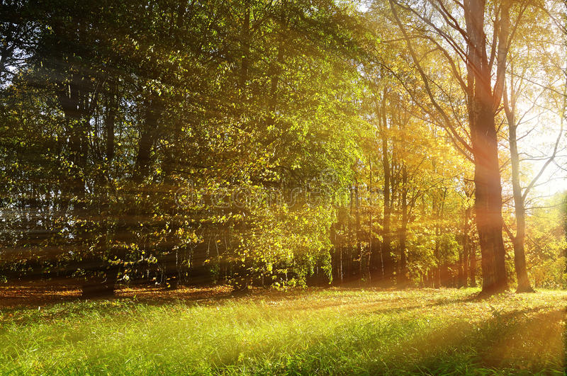 Autumn forest sunny landscape - forest autumn trees and sunbeams shining through the trees royalty free stock images