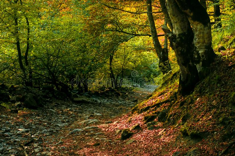 Autumn forest in sunset light. Beautiful nature background. Beautiful forest landscape, bright sunlight makes its way through the. Trunks of pines, amazing stock image