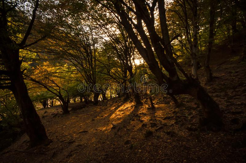Autumn forest in sunset light. Beautiful nature background. Beautiful forest landscape, bright sunlight makes its way through the. Trunks of pines, amazing stock photo